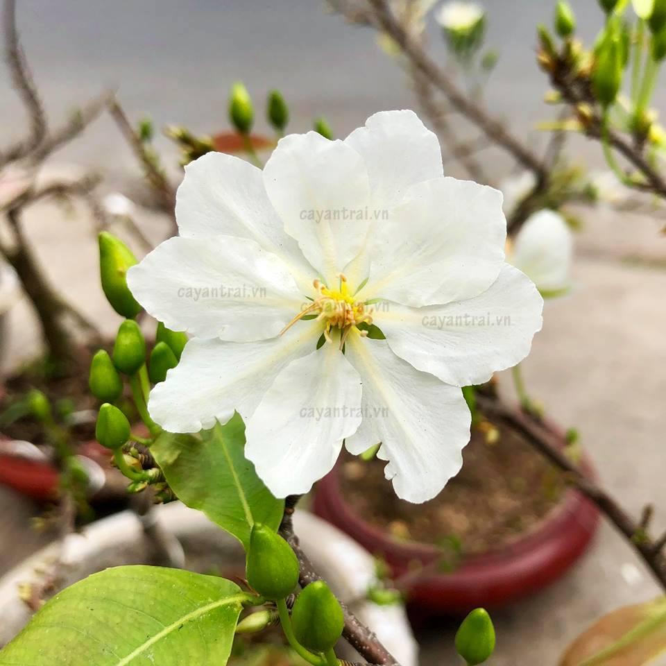 Hình ảnh bông mai trắng đẹp