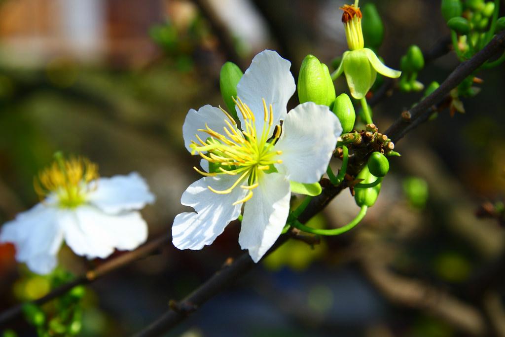 Hoa mai trắng đã nở rộ cực đẹp
