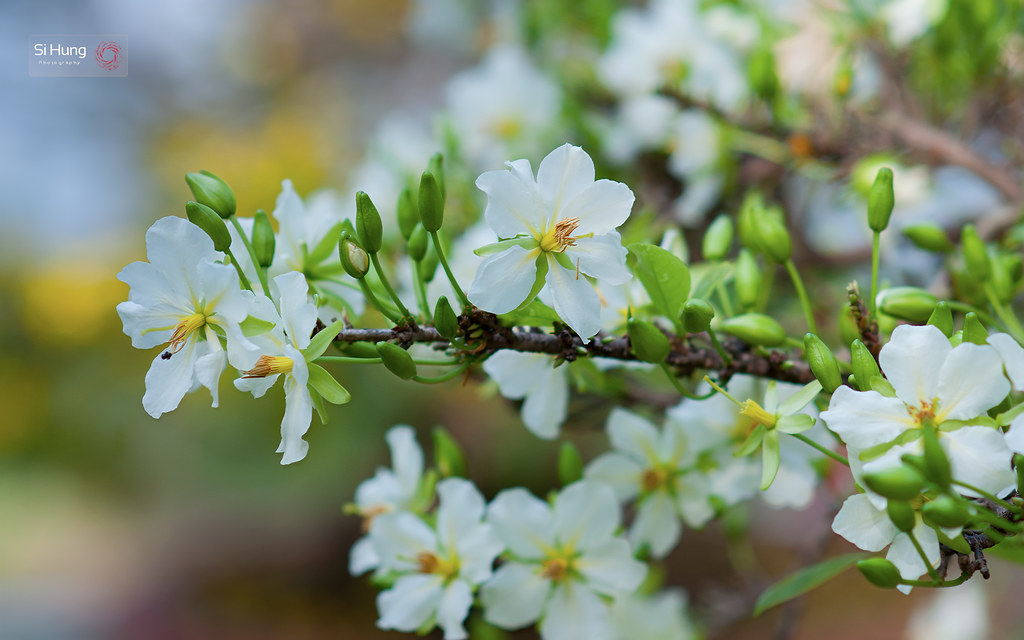 Hoa mai trắng đẹp mắt cực kỳ