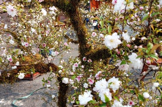Hoa mai trắng đẹp mắt đặt trong chậu