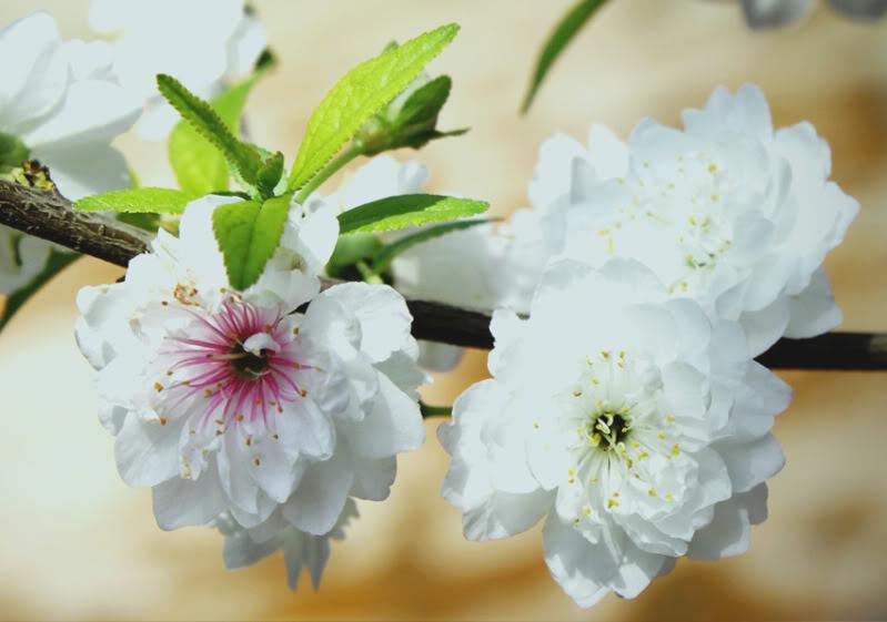 Hoa mai trắng ngày tết nở rộ đẹp mắt