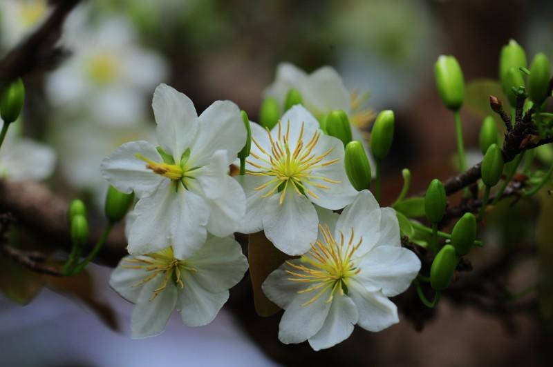 Hoa mai trắng nở rộ nhụy vàng