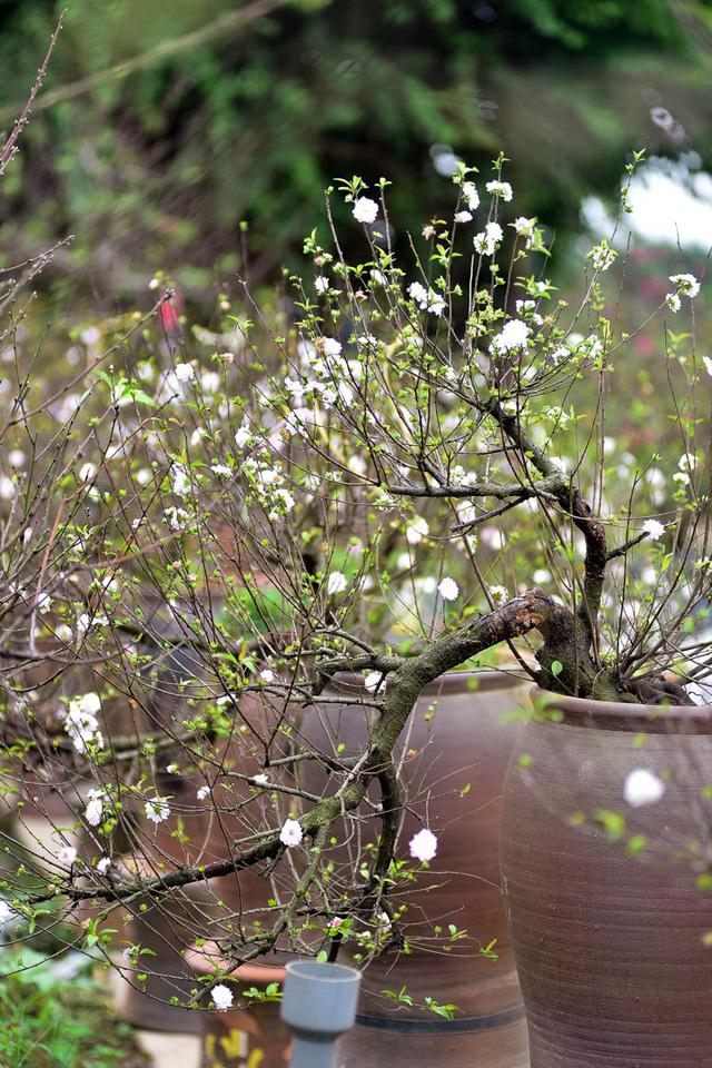 Hoa mai trắng nở rộ rất đẹp mắt