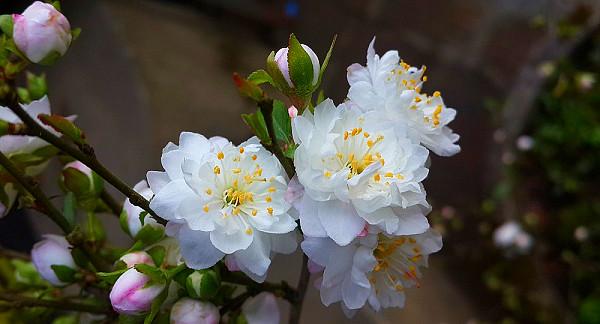 Hoa mai trắng nở rộ rất đẹp