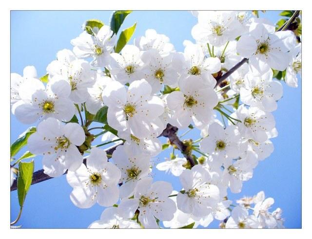 Hoa mai trắng nở rộ vào ngày xuân