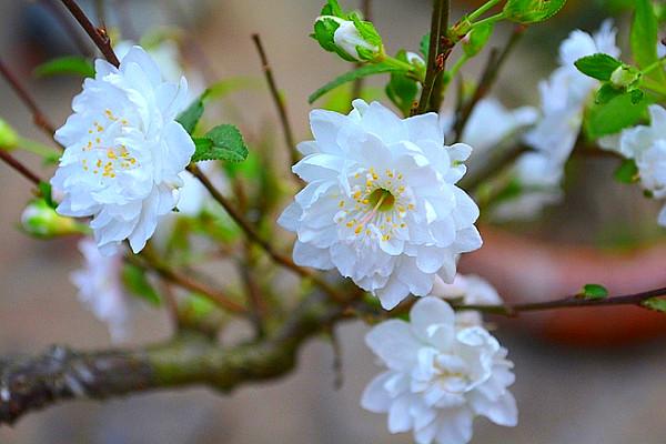 Hoa mai trắng trên cành rất đẹp