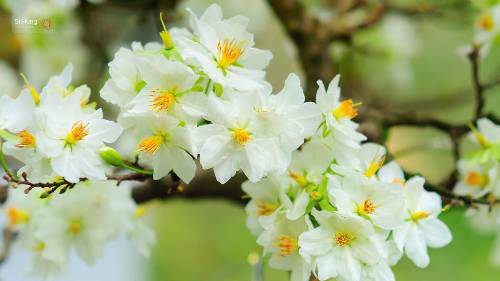 Một chùm hoa mai trắng chen chúc cực kỳ đẹp mắt