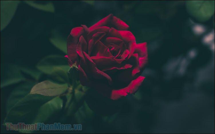 Những bài thơ về hoa hồng hay nhất