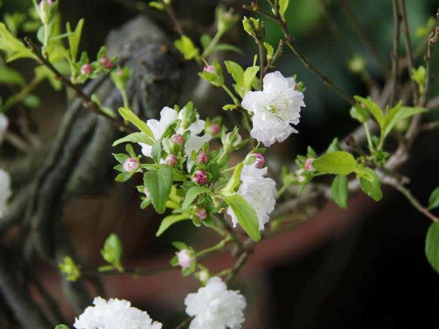 Những bông hoa mai trắng đẹp