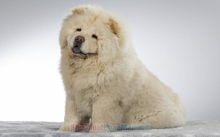Hình ảnh chó chow chow đẹp nhất