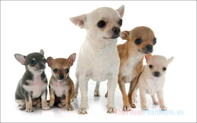 Hình ảnh những chú chó Chihuahua đẹp nhất