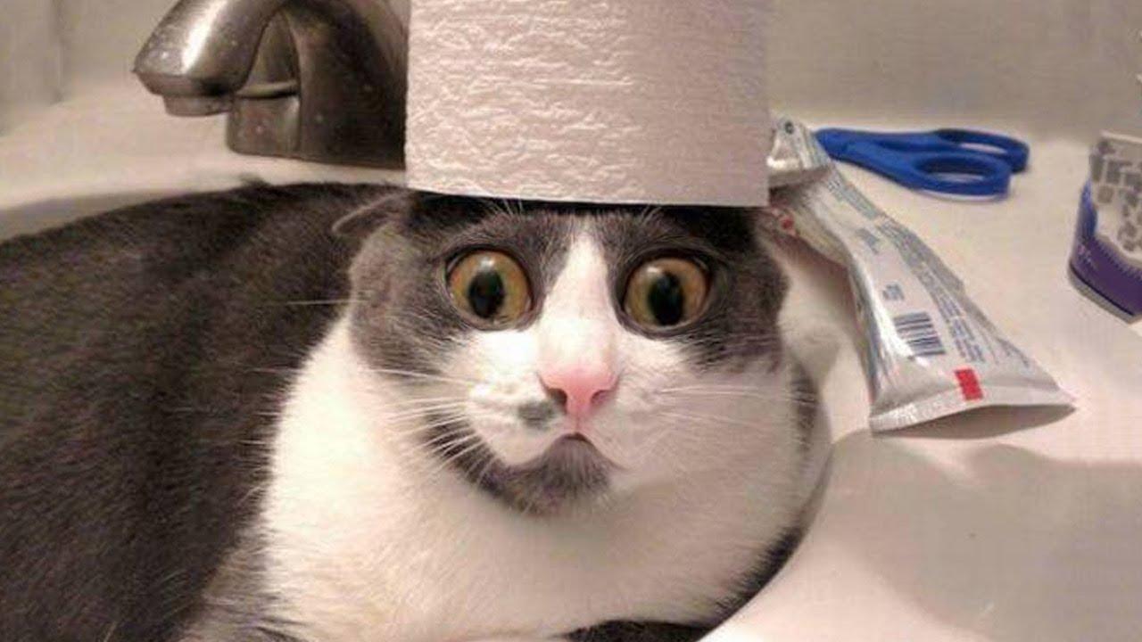 Avatar mèo hài hước