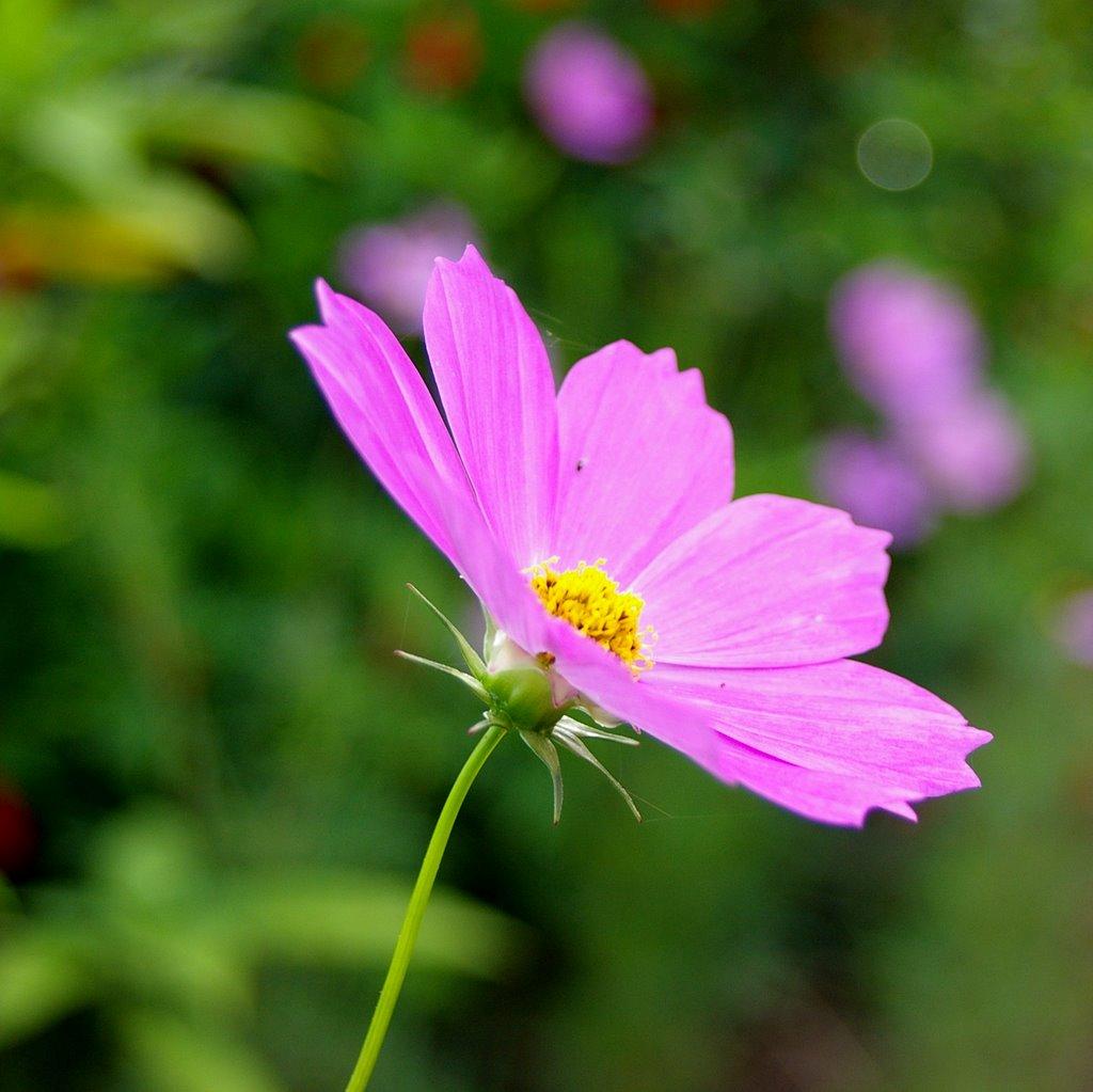 Ảnh đẹp nhất về hoa cánh bướm hồng