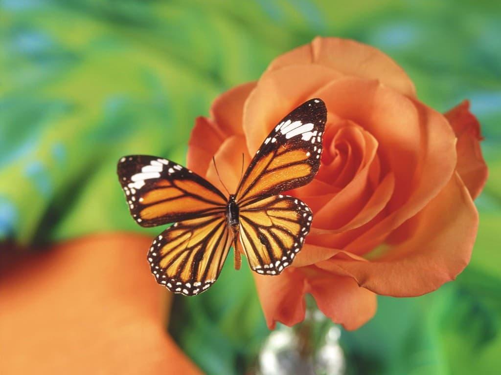 Ảnh đẹp về hoa cánh bướm