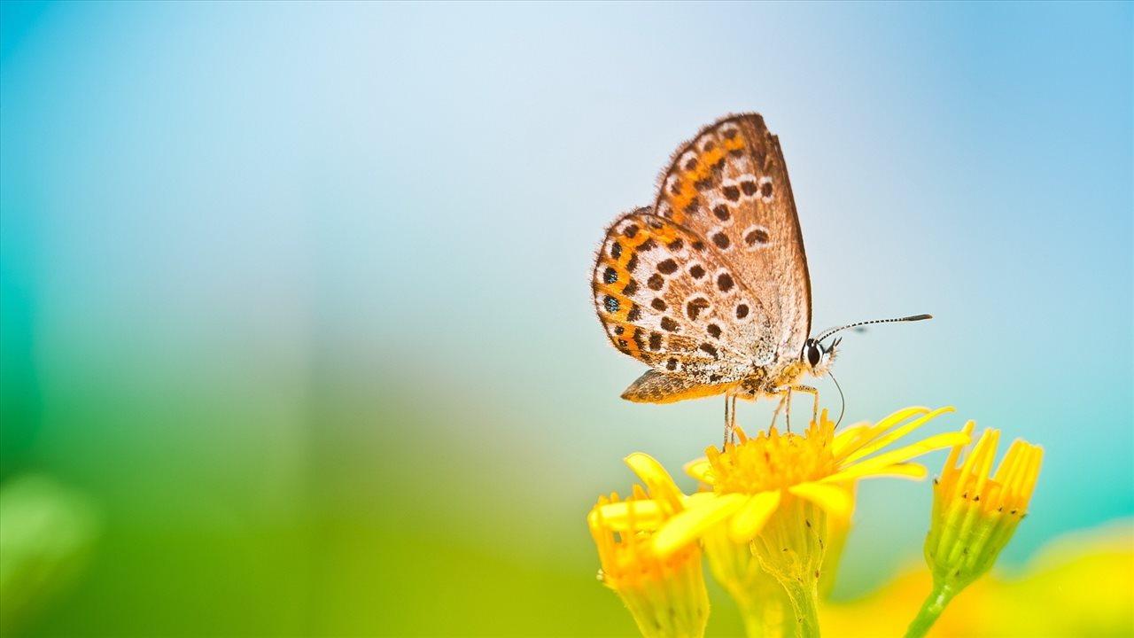 Ảnh hoa cánh bướm đẹp nhất