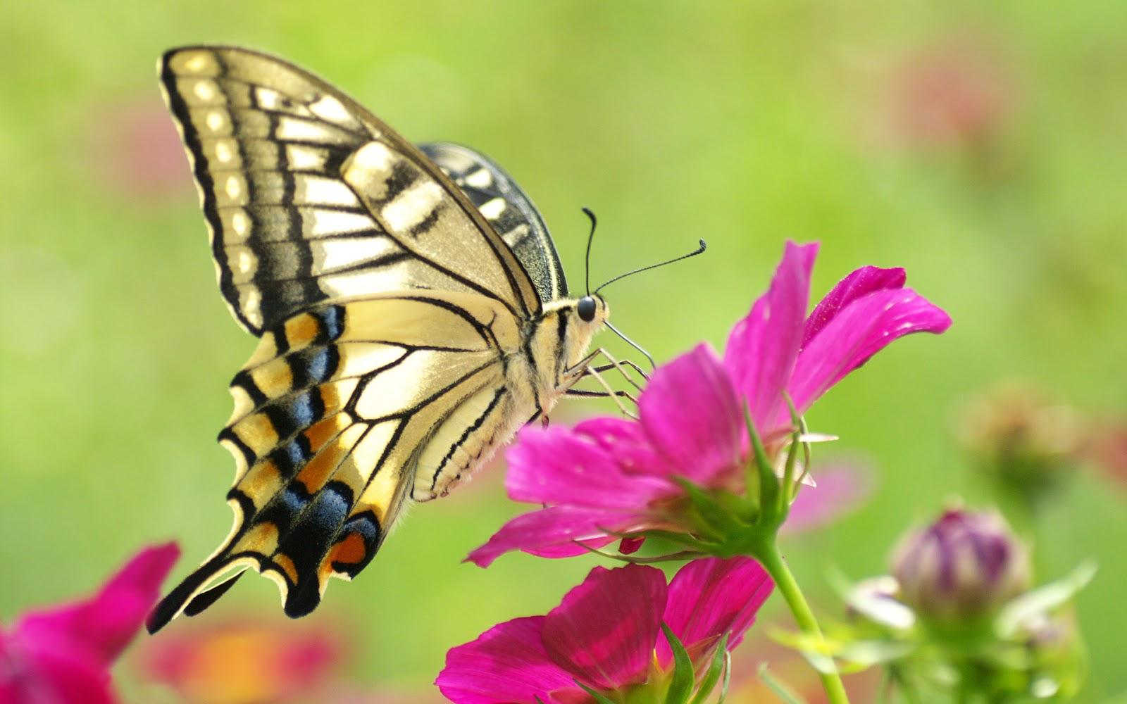 Ảnh hoa cánh bướm làm hình nền