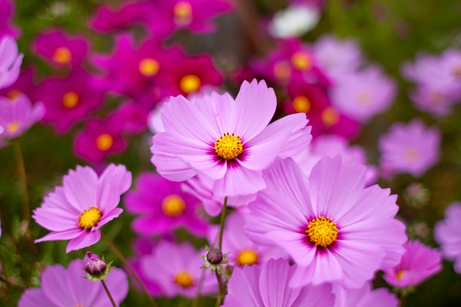 Ảnh hoa cánh bướm màu tím đẹp nhất