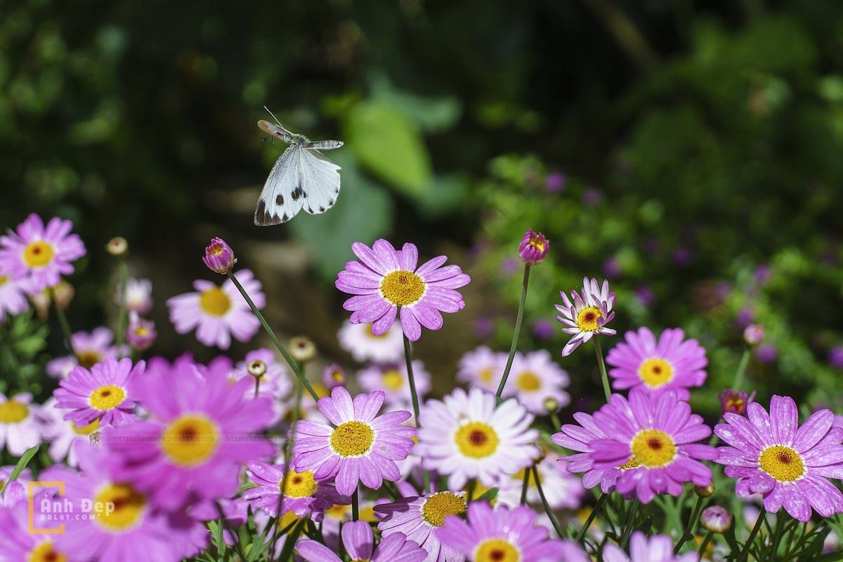 Hình ảnh đẹp nhất về hoa cánh bướm Đà Lạt