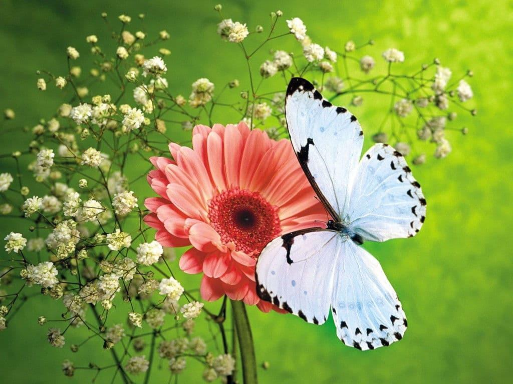 Hình ảnh hoa cánh bướm
