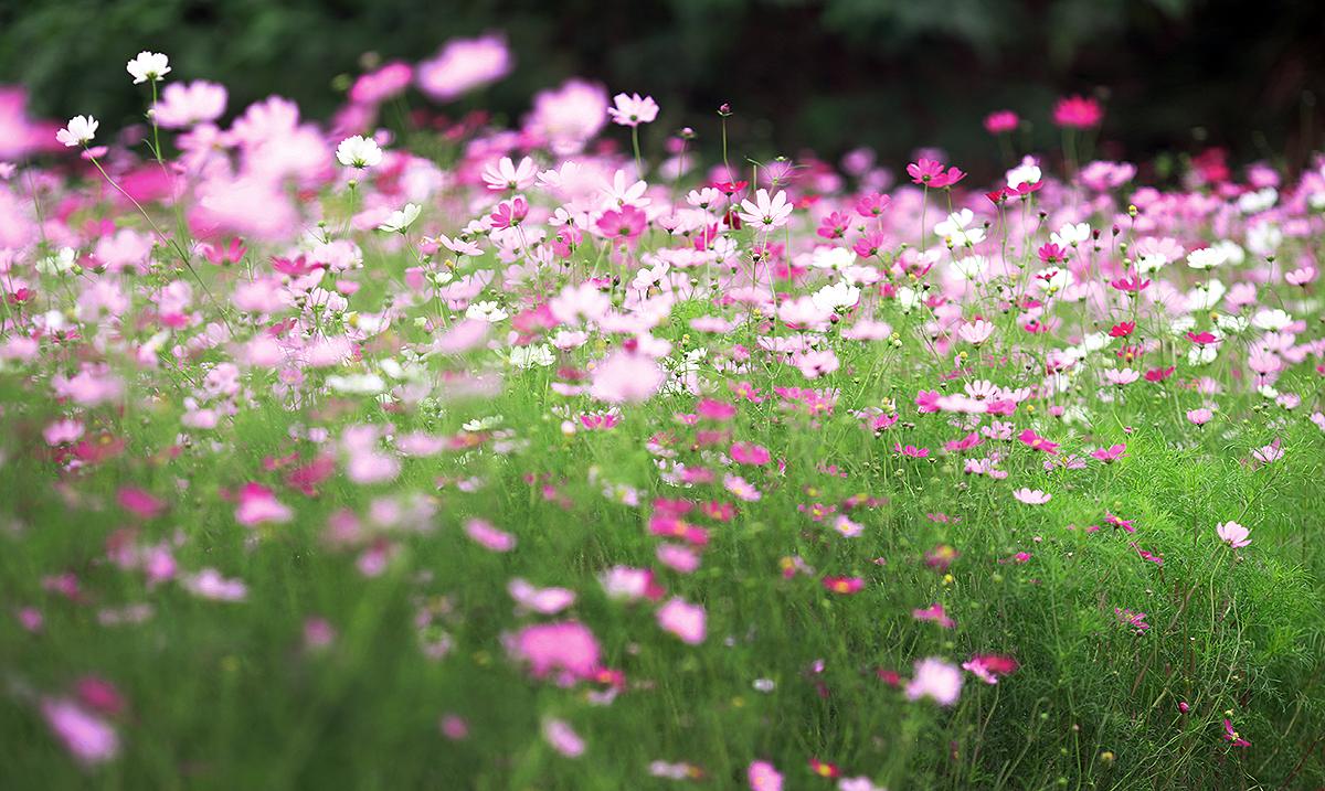 Vườn hoa cánh bướm hình ảnh đẹp nhất