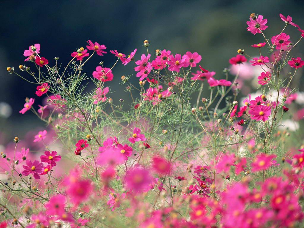 Vườn hoa cánh bướm những hình ảnh đẹp nhất