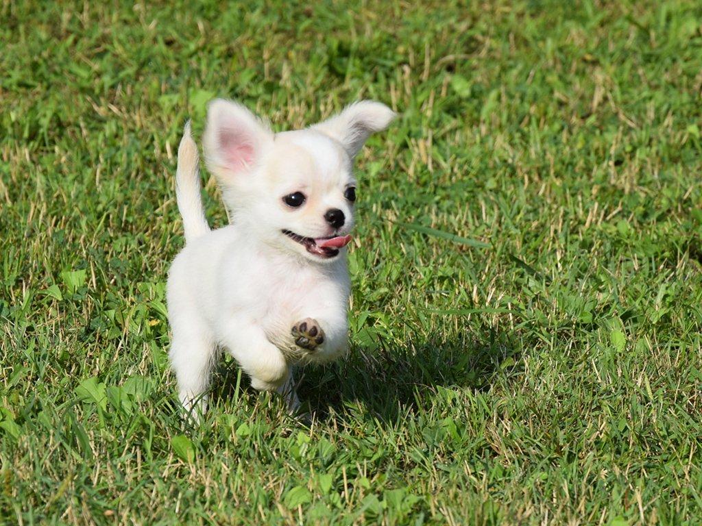 Ảnh chó chihuahua mini