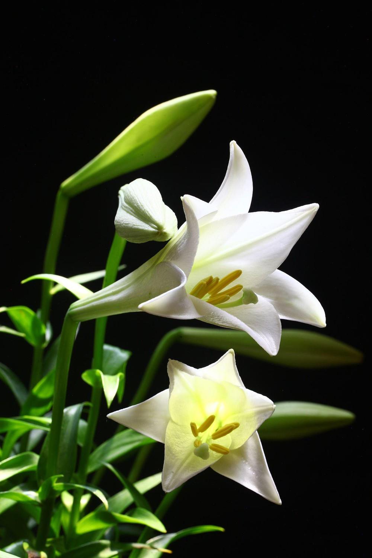 Ảnh đẹp về hoa loa kèn