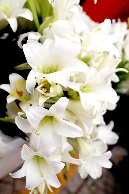 Ảnh hoa loa kèn trắng Đà Lạt