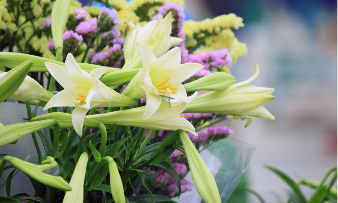 Ảnh hoa loa kèn trắng đẹp nhất