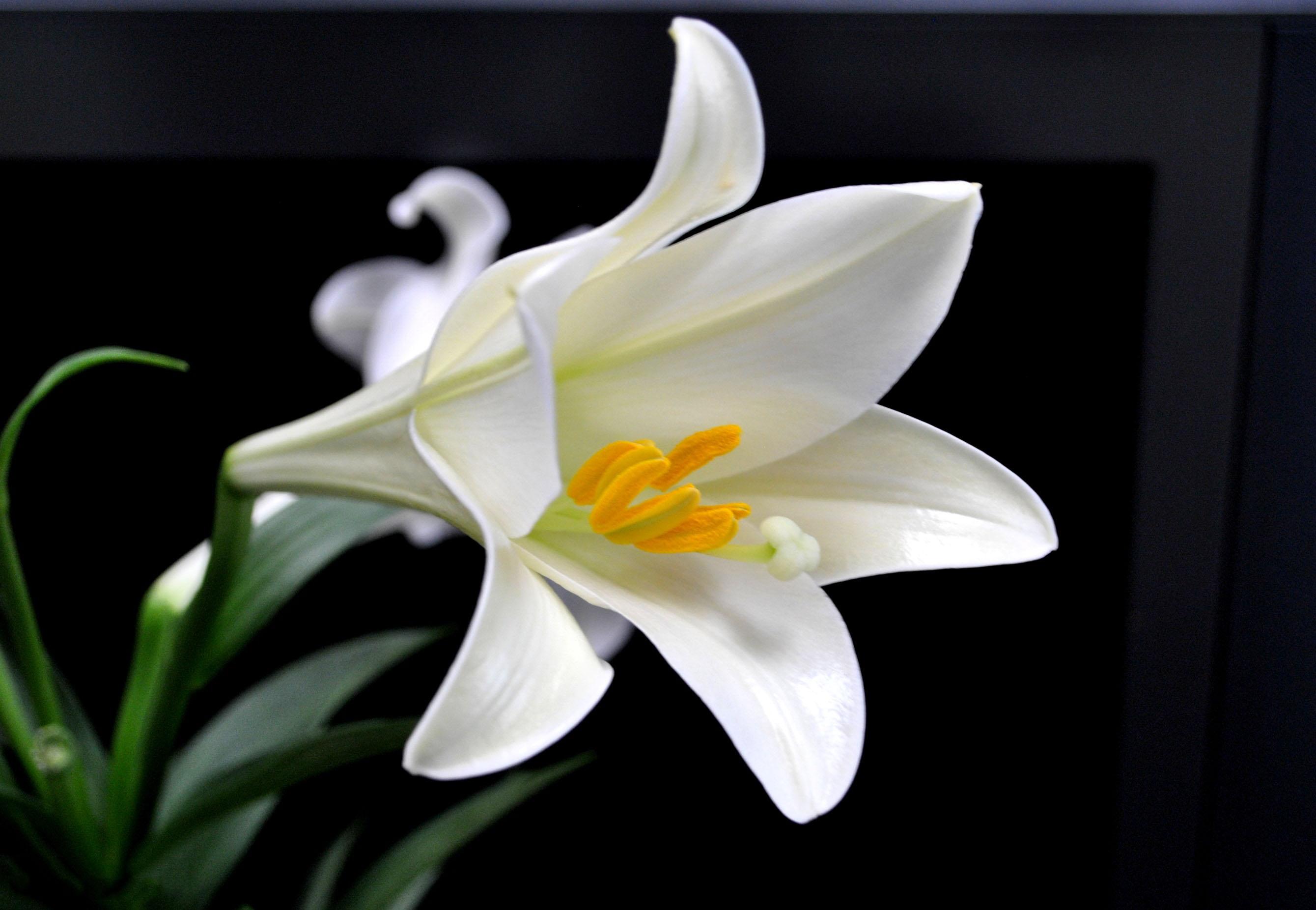 Ảnh hoa loa kèn trắng nở đẹp nhất