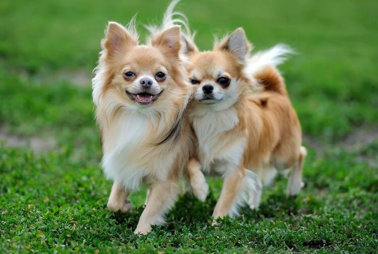 Hình ảnh cặp đôi chihuahua lông dài