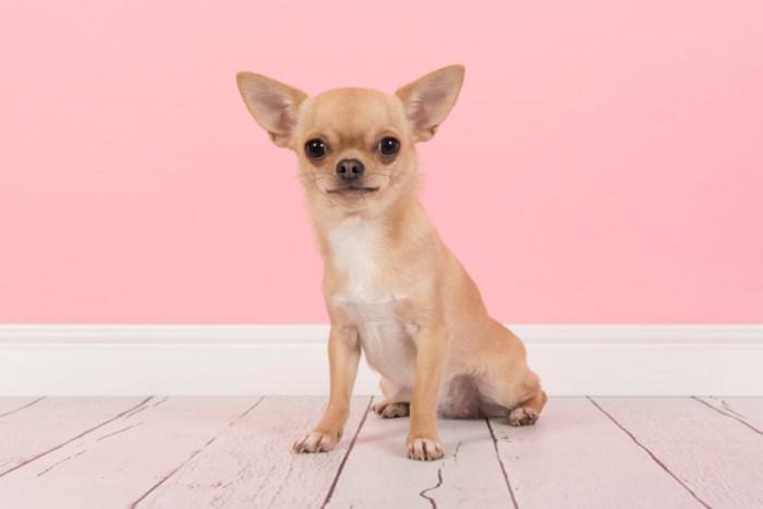 Hình ảnh chó cảnh chihuahua đẹp