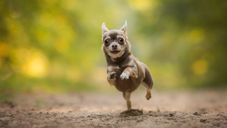 Hình ảnh chó chihuahua chạy nhảy