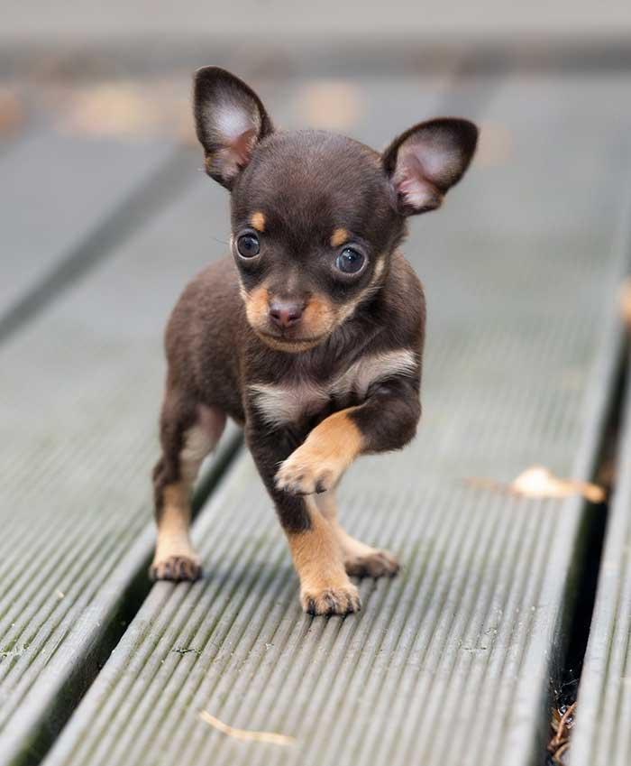 Hình ảnh chó chihuahua con