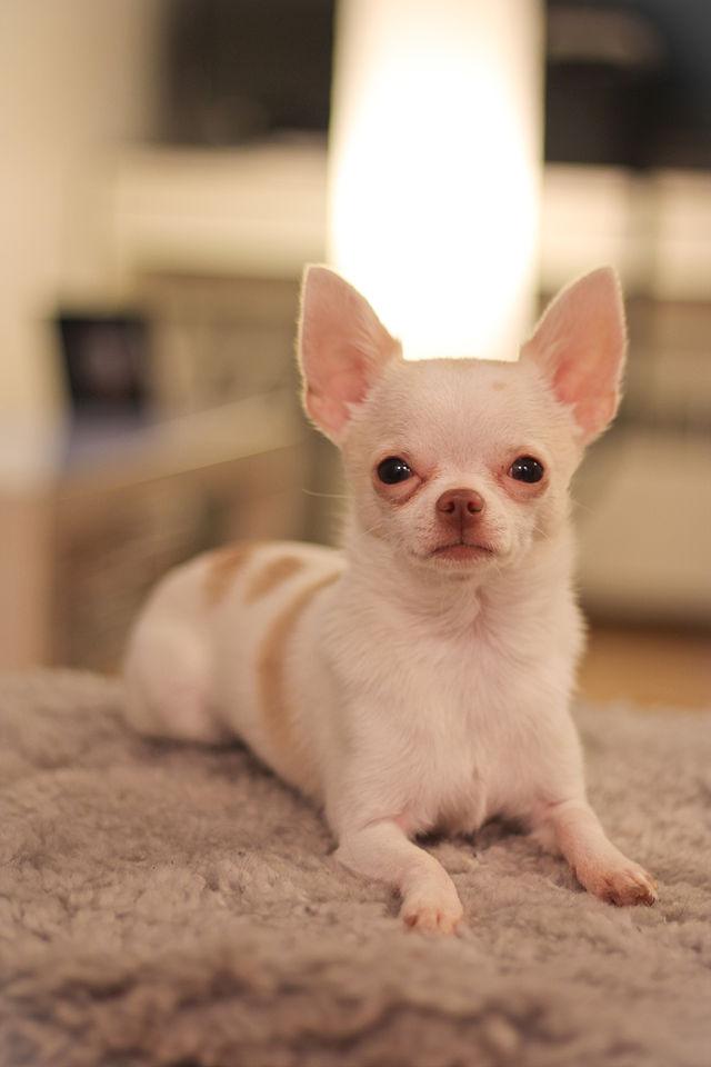 Hình ảnh chó chihuahua dễ thương