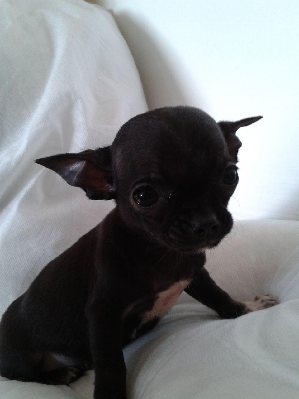 Hình ảnh chó chihuahua đen dễ thương