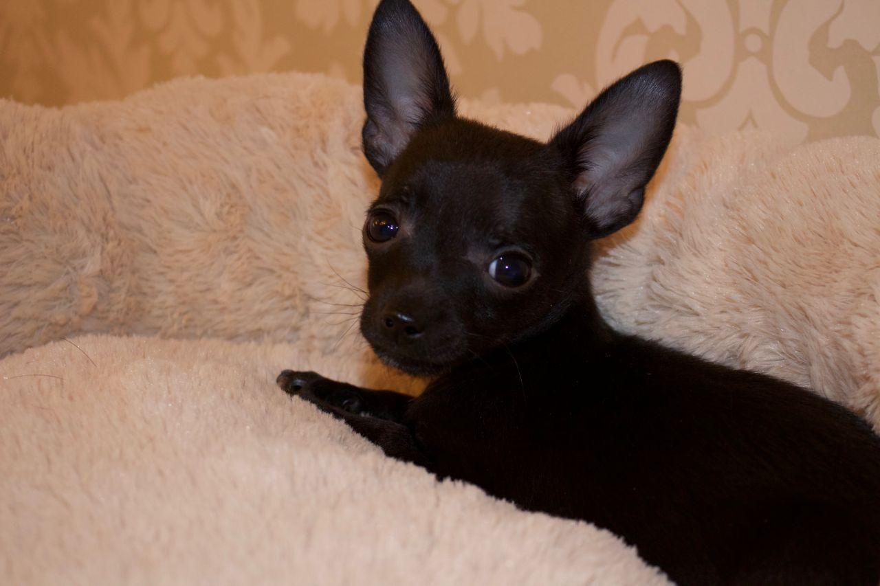 Hình ảnh chó chihuahua đen