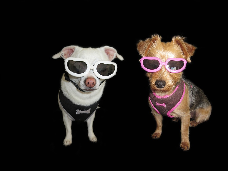 Hình ảnh chó chihuahua đeo kính