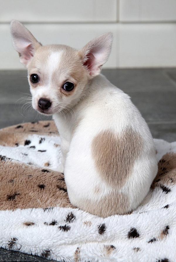Hình ảnh chó chihuahua đẹp nhất