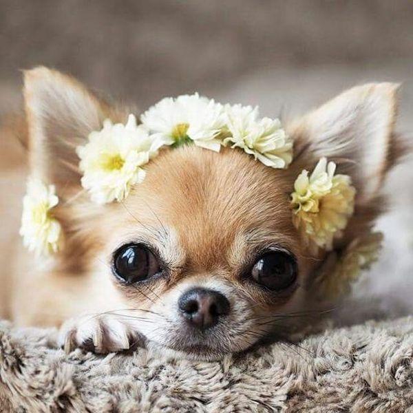 Hình ảnh chó chihuahua đẹp và dễ thương