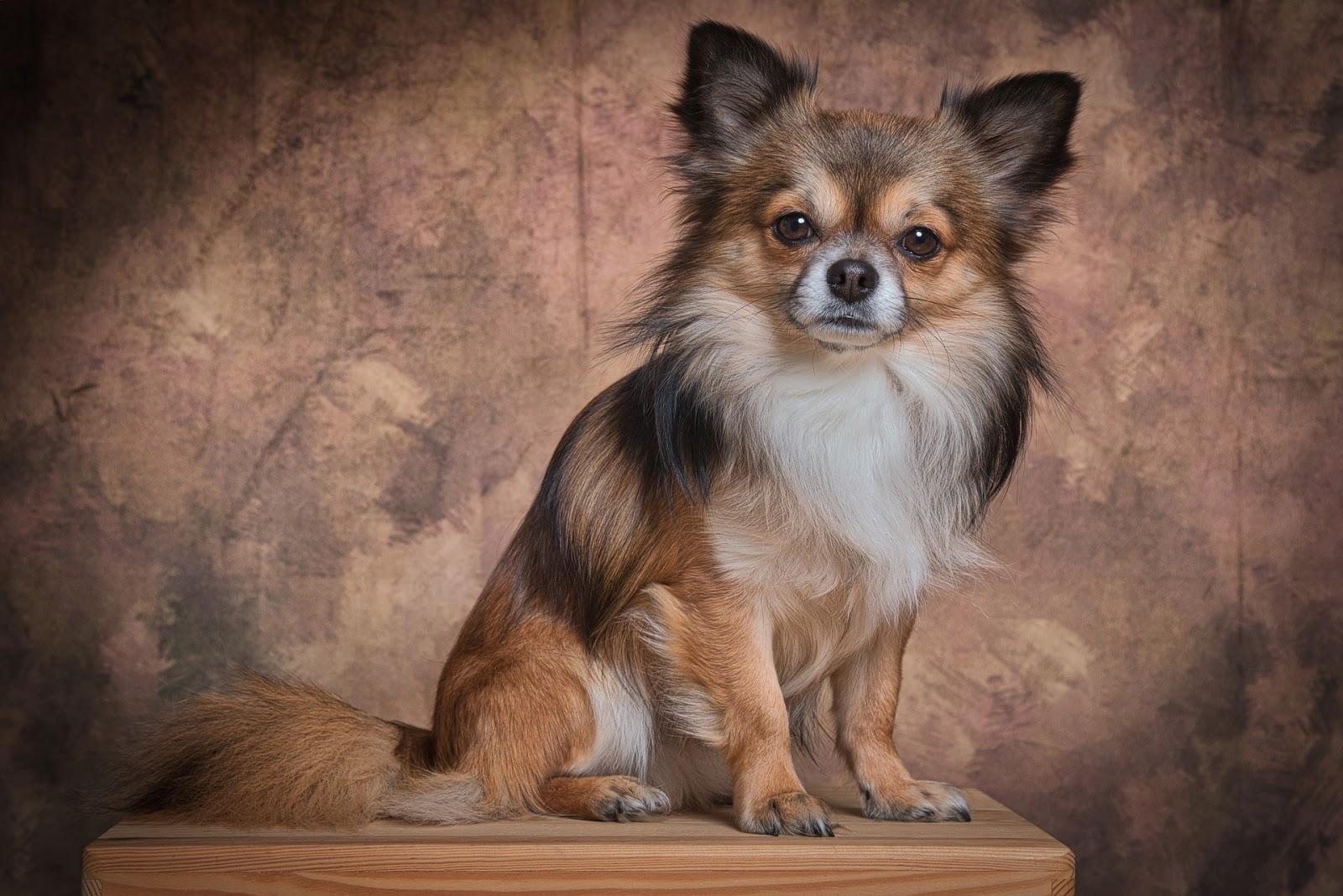 Hình ảnh chó chihuahua đẹp