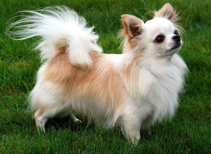 Hình ảnh chó chihuahua lông dài đẹp