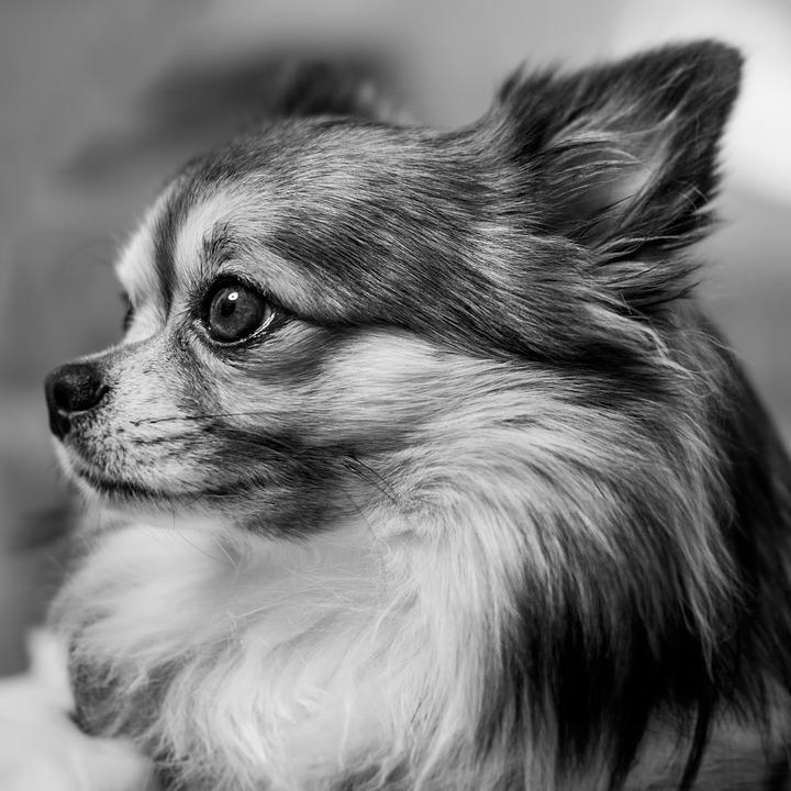 Hình ảnh chó chihuahua lông dài