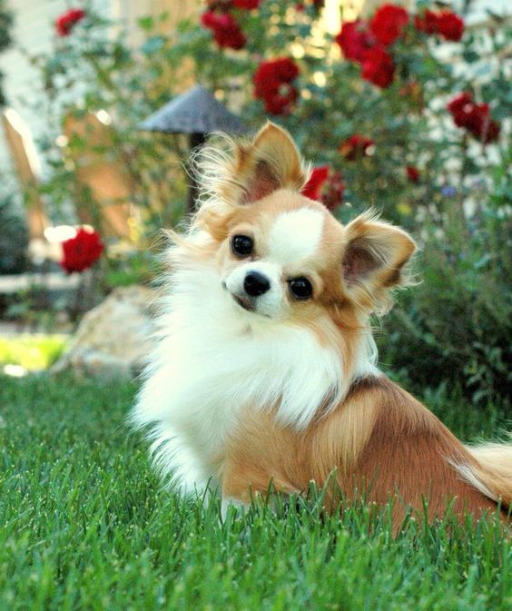 Hình ảnh chó chihuahua lông xù