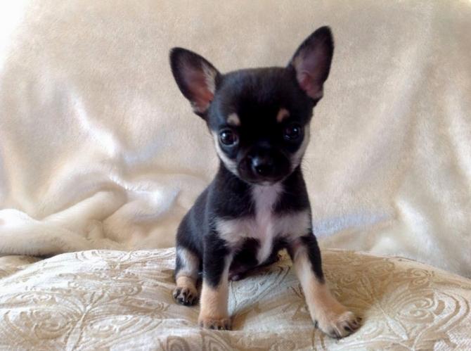 Hình ảnh chó chihuahua mini đẹp