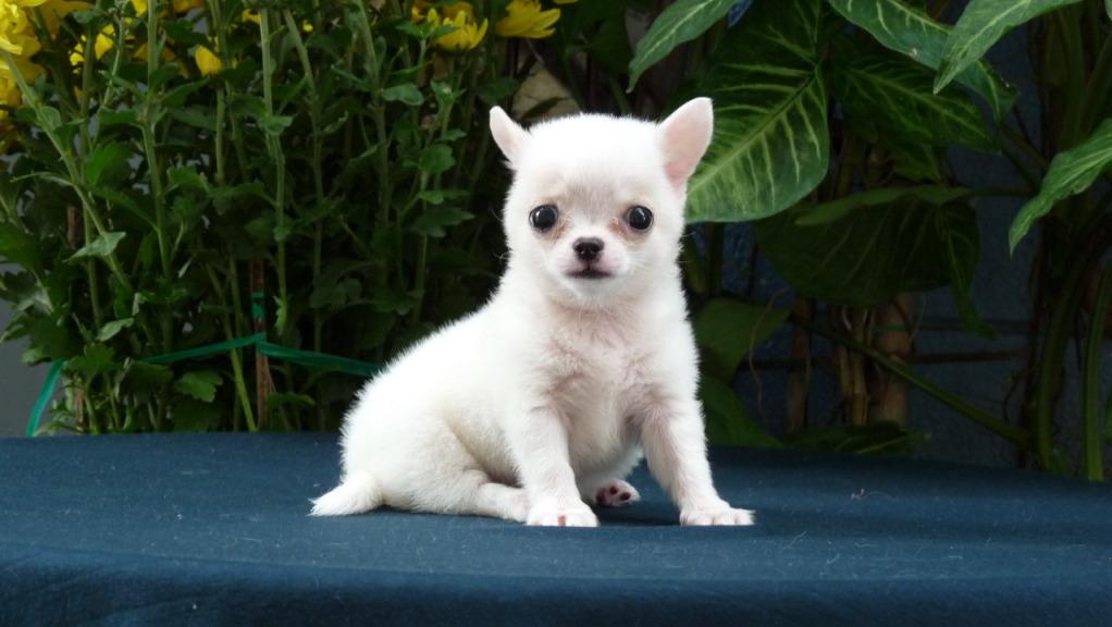 Hình ảnh chó chihuahua mini