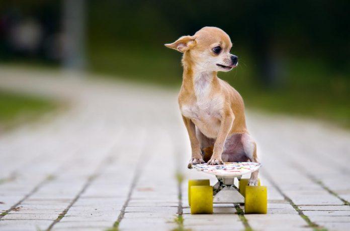 Hình ảnh chó chihuahua ngộ nghĩnh