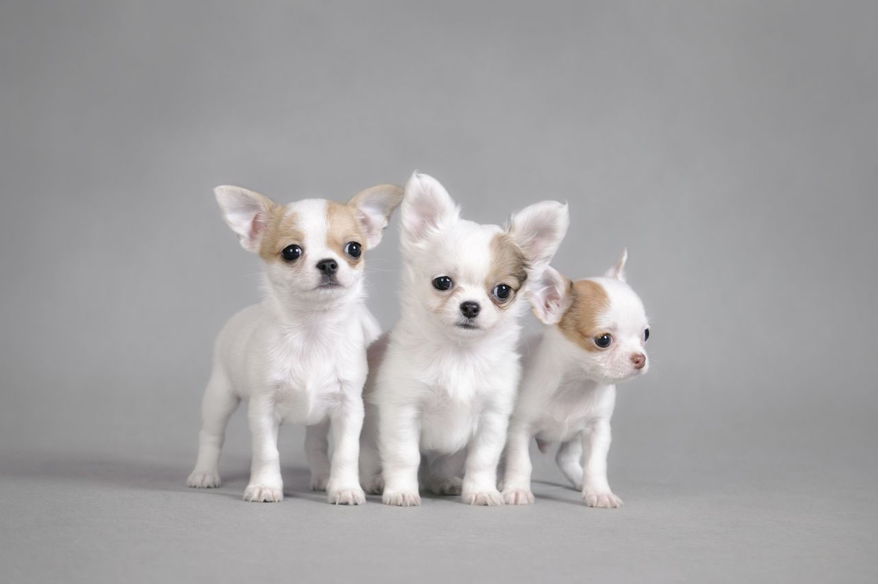Hình ảnh chó chihuahua nhỏ xinh