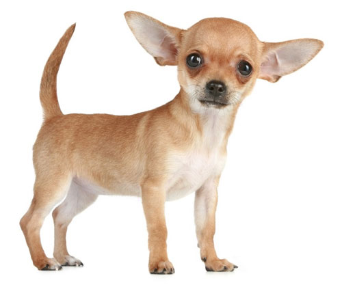 Hình ảnh chó chihuahua tai to