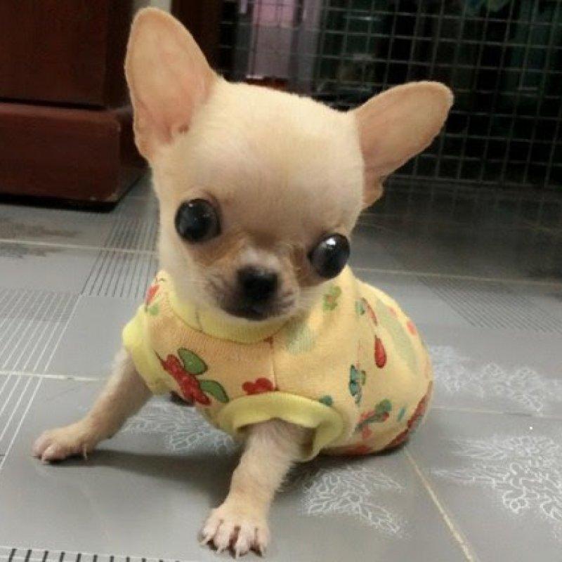 Hình ảnh chó chihuahua thuần